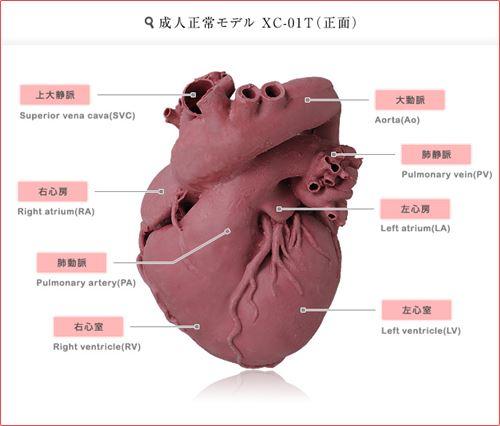 心臓_R.jpg